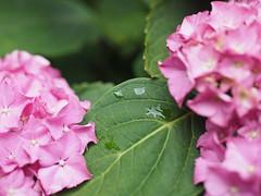 Blüten und Blätter (lennart.broders) Tags: olympus olympusomdem5markii iso200 makro natur pflanze pflanzen mft microfourthirds