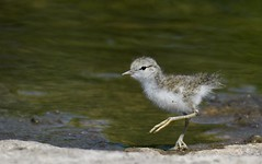 Spotted Sandpiper Chick (hd.niel) Tags: spottedsandpiper chicks nest birds shorebirds nature river wildlife ontario photography fledglings