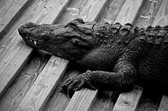 Alligator Textures (pjpink) Tags: alligator gator blackandwhite bw monochrome uncolored reptile gatorland centralflorida orlando florida fl april 2019 spring pjpink 2catswithcameras