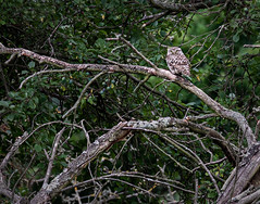 Little-owl_6214 (Peter Warne-Epping Forest) Tags: littleowl essexgarden peterwarne birdofprey athenenoctua raptor predator