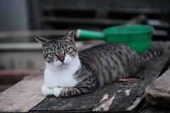Wondering (yu-xin Xie) Tags: cat bokeh neko 猫 貓 biotar carlzeissjena houtong 猴硐 carlzeissjenabiotar582 fujifilm xt2 classicchrome
