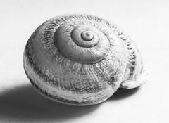 Fibonacci Rules (gpa.1001) Tags: snailshell stilllife existinglight macromondays patternsinnature