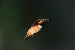 Male Rufous Hummingbird, Selasphorus rufus (jlcummins) Tags: rufoushummingbird hummingbird washingtonstate yakimacounty bird nature wildlife canon tamronsp150600mmf563divcusd backyardbirds selasphorusrufus