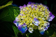 Belle Isle Conservatory - Budding Hydrangea (Tony Rich Photography) Tags: michigan belleisle gem emerald statepark anna scripps whitcomb conservatory detroit flower