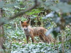 Watching us (JuliaC2006) Tags: fox wattsmeadow animal rochester