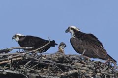 Osprey family (Peter Stahl Photography) Tags: osprey chick 1680