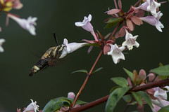 Snowberry Clearwing Moth (Stephen J Pollard (Loud Music Lover of Nature)) Tags: snowberryclearwingmoth hemarisdiffinis insect insecto moth polilla