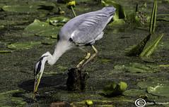 Heron (udaloy) Tags: heron bird fish nature wildlife water pond culzeancastle swanpond commongreyheron greyheron grayheron charliekirkpatrick canon unitedkingdom uk scotland ayrshire