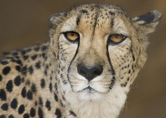 Cheetah face (San Diego Shooter) Tags: zoo sandiego sandiegozoo portrait animal animals cheetah