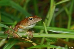Kalakad Gliding Frog (harshithjv) Tags: frog kalakadglidingfrog kalakad glidingfrog amphibian anurans rhacophorus calcadensis amphibia anura rhacophoridae canon 80d tamron macro 90mm agumbe godox