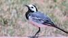 Kwikstaart/ Wagtail (Meino NL) Tags: kwikstaart wagtail vogel bird aves wittekwikstaart zangvogel piepers broedvogel motacillidae kwikstaartenenpiepers costabrava catalunya spain