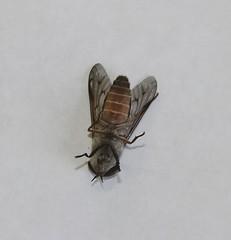 Horsefly species, Diptera (tripp.davenport) Tags: diptera fly horsefly bigspringsranch realcounty tx