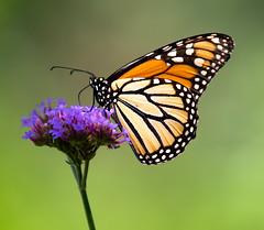 Monarch Butterfly (arlene sopranzetti) Tags: monarch butterfly insect willowwood arboretum far hills new jersey summer