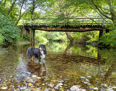 Bucolic (jayvan) Tags: dash aussie australianshepherd dog stream happy water bridge googlepixel oregon neskowin twtme
