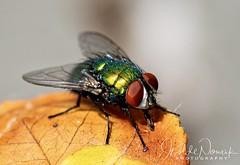 Fliege (isoldenowak) Tags: sigma105 sigmaart insect makro macro fly fliege