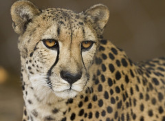 IMG_4870 (San Diego Shooter) Tags: zoo sandiego sandiegozoo portrait animal animals cheetah