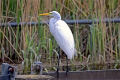 EGRET FISHING EXPEDITION, ACA PHOTO (alexanderrmarkovic) Tags: egretfishingexpedition acaphoto egret birds