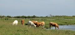 Westkapelle, koeien / cows (Maarten van der Velden) Tags: nederland netherlands niederlande paysbas paísesbajos paesibassi westkapelle hogeweg koeien cows kühe vaches vacas koer