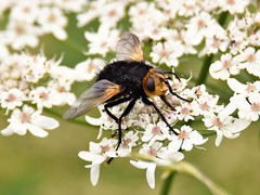 Giant Tachinid Fly  (Tachina grossa) (doranstacey) Tags: nature wildlife insects giant tachinid fly longshaw estate peak district macro nikon d5300 tamron 150600mm tachina grossa