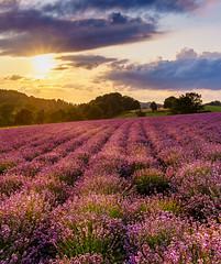 Sonya7M220190713LF (BenniGe) Tags: sunset sonnenuntergang lavendel lavendelfelderfromhausen lavendelfelder provence germany detmold nordrheinwestfalen sonya7m2 sonyalpha nature landscapephotography landschaftsfotografie sony2870mm
