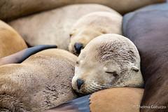 Sleeping beauties (Thelma Gatuzzo) Tags: natureza usa eua travelphotography travel nature thelmagatuzzo© canoneosr viagem 2019 seal sealfamily closeup sleeping wild animals mammals seamammals ngc