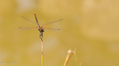Sympétrum à nervures rouge (pcaze81) Tags: domainedesoiseaux ariège canonef100mmf28lmacroisusm occitanie libellule canoneos6d sympétrumdefonscolombe anisopteres libellulidae sympetrum sympetrumfonscolombii dragonfly odonate