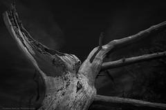 Creature from Higbee No.2 (Thomas Pohlig) Tags: higbeebeach weatheredwood weathered wood trees tree beach seashore jerseyshore capemay fineart blackandwhite blackandwhitephotography monochrome mono
