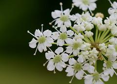 Water Hemlock (jmunt) Tags: wildflower flower waterhemlock hemlock