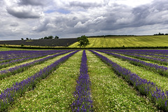 lavender lines (iantanky) Tags: flowers lavender snowshill cotswolds purple leadinglines nikond750 nikon tree sky clouds landscape landscapephotography nofilters