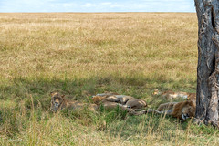siësta (Aline van Weert) Tags: 201808 alinevanweert kenia kenya masaimara safari wildlife lion leeuw nature natuur
