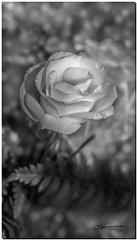 JULY 2019 NGM_2186_8768-1-222 (Nick and Karen Munroe) Tags: roses rose plants plant bloom blooming flowering flower flowers bokeh creamy macro closeup upclose karenick23 karenick karenandnickmunroe karenandnick munroe karenmunroe karen nickandkaren nickandkarenmunroe nick nickmunroe munroenick munroedesigns photography munroephotoghrpahy munroedesignsphotography nature landscape brampton bramptonontario ontario ontariocanada outdoors canada d750 nikond750 nikon nikon2470f28 2470 2470f28 nikon2470 nikonf28 f28 blackandwhite bw blackwhite bandw monochrome mono