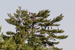 _D751467 (pxr57) Tags: tree herons great blue heron nikon d7500
