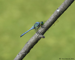 Dragonfly (Geo Scouter) Tags: wildwoodlake harrisburg pennsylvania dragonfly