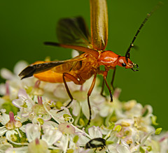 Red Soldier Beetle at takeoff (ianbartlett) Tags: outdoor 365 wildlife nature flowers macro flies bugs beetles thorn