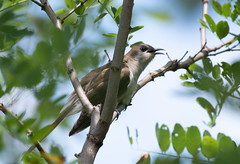 Black-billed Cuckoo (FluvannaCountyBirder754) Tags: cuckoo blackbilledcuckoo albemarle birdwatching bird birding birder birds wildlife nature outdoor outdoors outside animal creature nikon nikond500