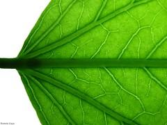 Leaf (Ronnie Gaye) Tags: green leaf foliage macro patternsinnature macromondays
