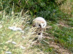 breakfast time 14.7.19 (ericy202) Tags: barn owl eating consuming vole grass roadside verge