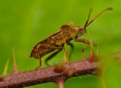 925.365-195 Dock Bug (ianbartlett) Tags: outdoor 365 wildlife nature flowers macro flies bugs beetles thorn