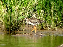 Wood Sandpiper 14.7.19 (ericy202) Tags: wood sandpiper water reeds holklam nnr