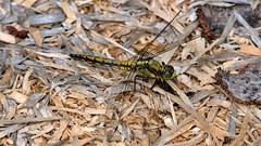 Westliche Keiljungfer Libelle macht Pause (Sanseira) Tags: insekt libelle augsburg westliche wälder keiljungfer