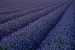 fresh lavender (Rafael Zenon Wagner) Tags: lavendel lavender france frankreich tele 200mm nikon d810 lines linien field feld blue hour