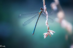 libelle touw-1 (surinamevakantiehuisje) Tags: libelle macro juffers