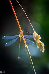 libelle 2-1 (surinamevakantiehuisje) Tags: libelle macro juffers