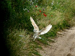 Landing with prey 14.7.19 (ericy202) Tags: barn owll landing with prey road verge grass flowers