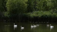Swan family (PChamaeleoMH) Tags: london birds swans cygnets herons mallards brockwellpark polishcygnet