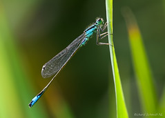 Ischnura elegans (De Hollena) Tags: agrionélégant bluetaileddamselfly grosepechlibelle ischnuraelegans lagrionélégant lantaarntje libel libelle libellula libellule