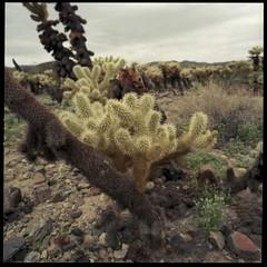 Cholla (ADMurr) Tags: ca desert cactus jtnp joshua tree hasselblad 500cm 50mm zeiss distagon kodak ektar overcast dba674 cholla