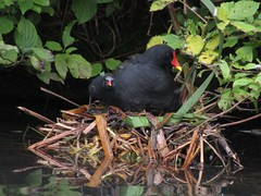 IMG_3869 (belight7) Tags: mama moorhen baby nest pond uk local park nature england