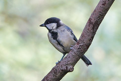 Great Tit (sumowesley) Tags: bird fauna greattit nature oldmoor rspb
