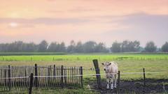 Blonde Aquitaine, Achterhoek The Netherlands (J.v.V.) Tags: blondeaquitaine jvv achterhoek thenetherlands landscape dutch sonya7iii zeissbatis28135 sunset softcolors colors cattle cow farm farmland fog calm rural